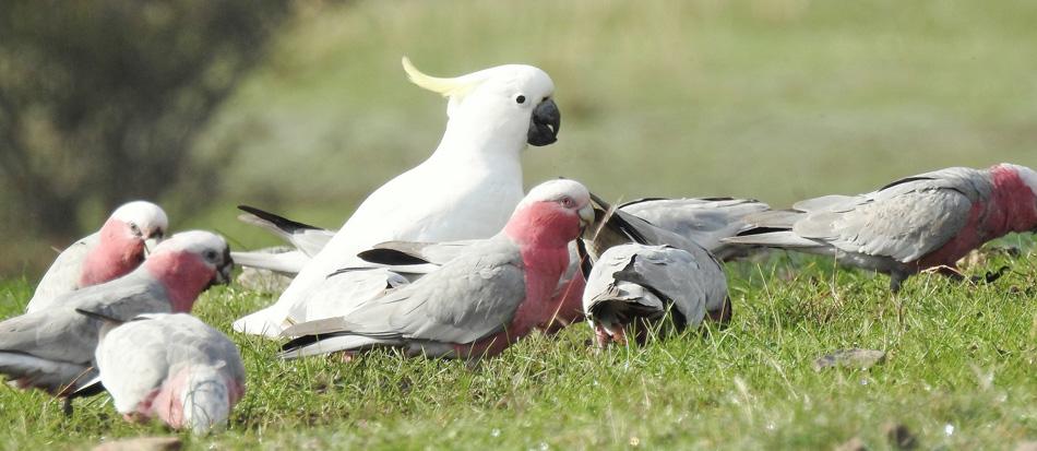 birds-grazing