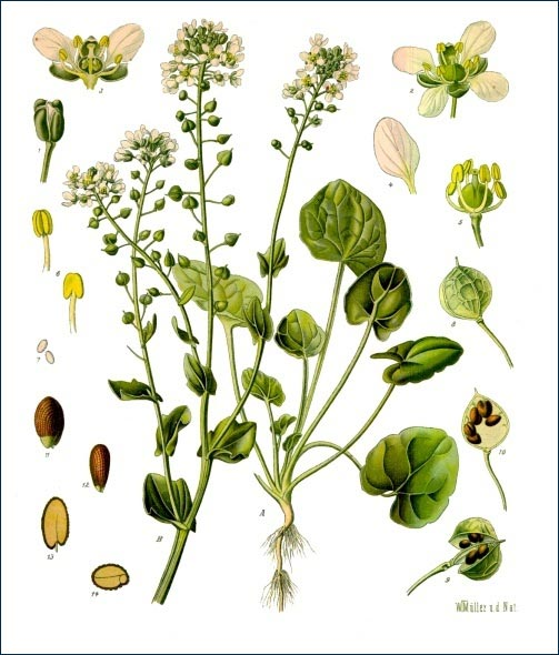 cochlearia-officinalis