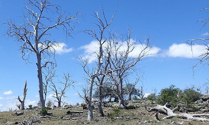 Monaro tree dieback