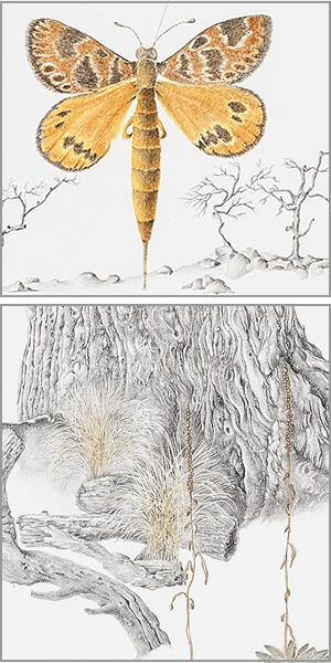 Golden Sun Moth E. Viminalis