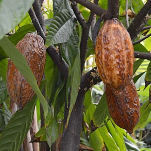 Cocoa beans hanging in bush