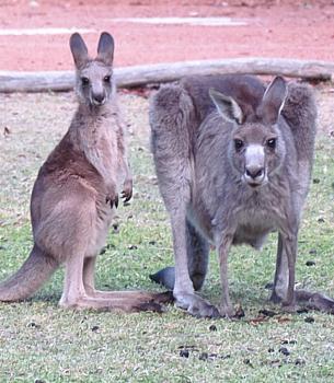 kangaroo joey with mother