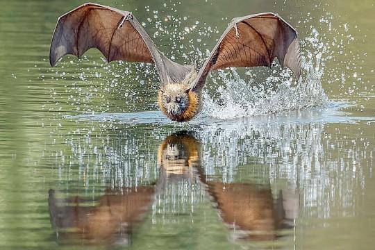 Flying-fox-Elizabeth-Howell
