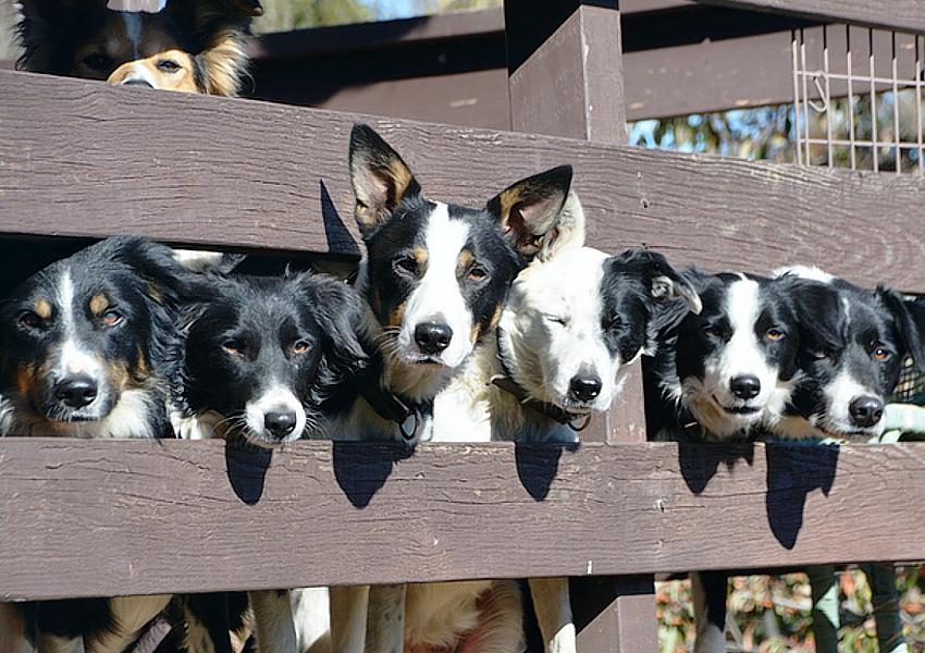 trans tasman sheepdog trials 2018