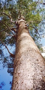 Blackbutt Eucalyptus by Peter Woodard