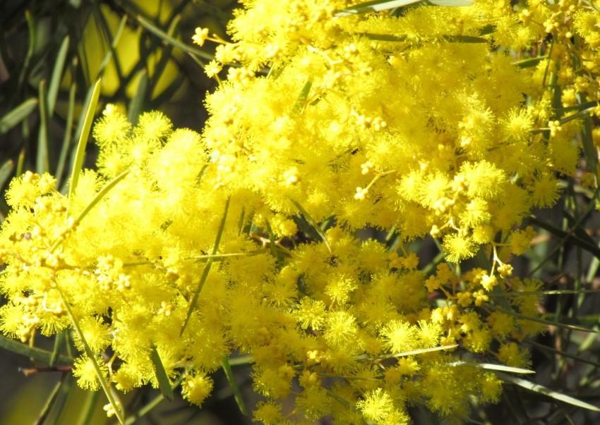 Wonderful Wattles Brighten The Landscape And Fix Nitrogen