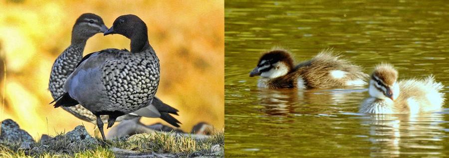 duck-parents