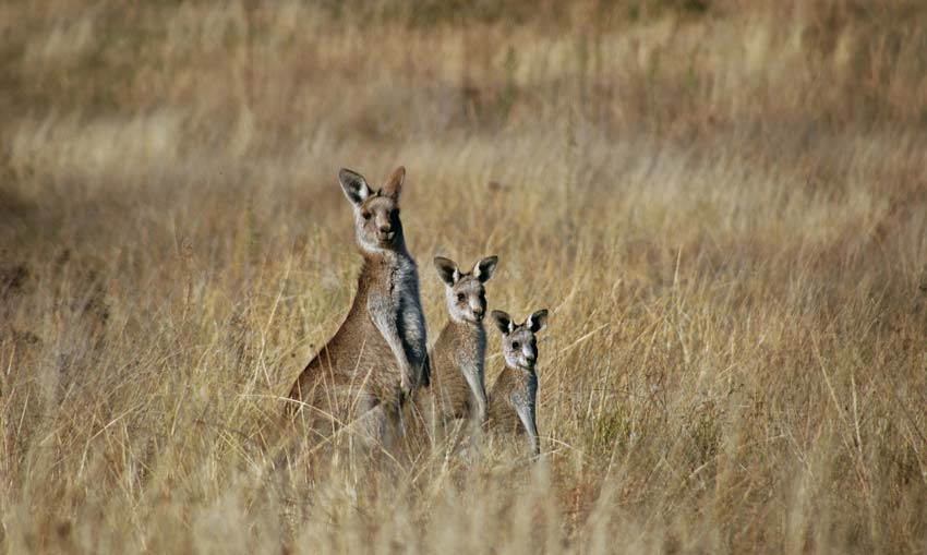 "The ""swampy"" world of kangaroo politics – species at risk"