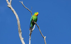 The vulnerable superb parrot also uses travelling stock reserves for habitat. Damian Michael, Author provided