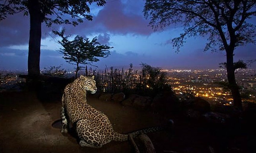 Mumbai leopards
