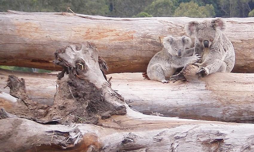 koala habitat loss, credit Briano WWF Australia