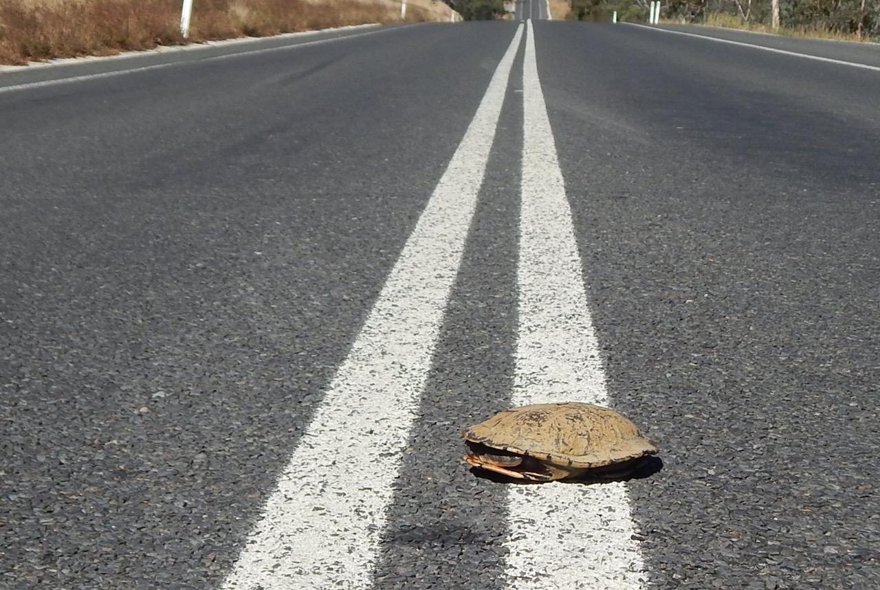 turtle on road