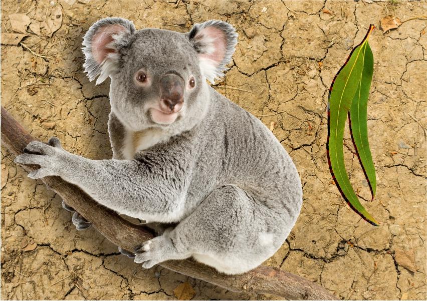 koala habitat loss NSW