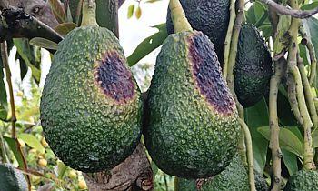 sunburned avocados