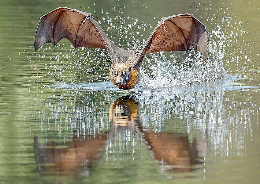 Flying-fox-Elizabeth-Howell