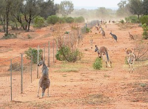 fenced off kangaroos