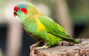 Swift Parrot photo Serguei Levykin Dreamstime