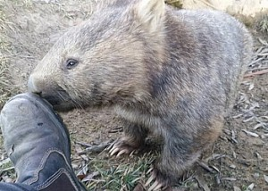 A very sociable wombat.