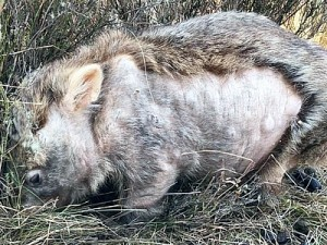 A wombat Marie has cured of mange after one month of intense treatment. Healthy fur is re-growing.