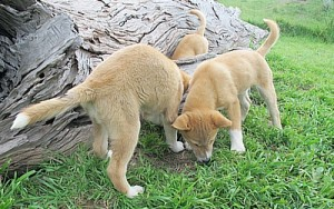 Dingo pups at Toolern Vale sanctuary. (Susan Cruttenden)