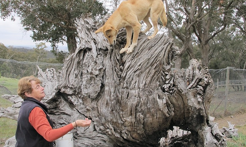 Lyn Watson with tame dingo. (Susan Cruttenden)