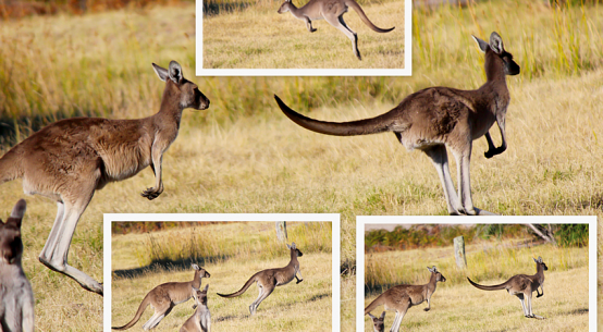 Virtual-kangaroo-hordes-feature-image-Shutterstock