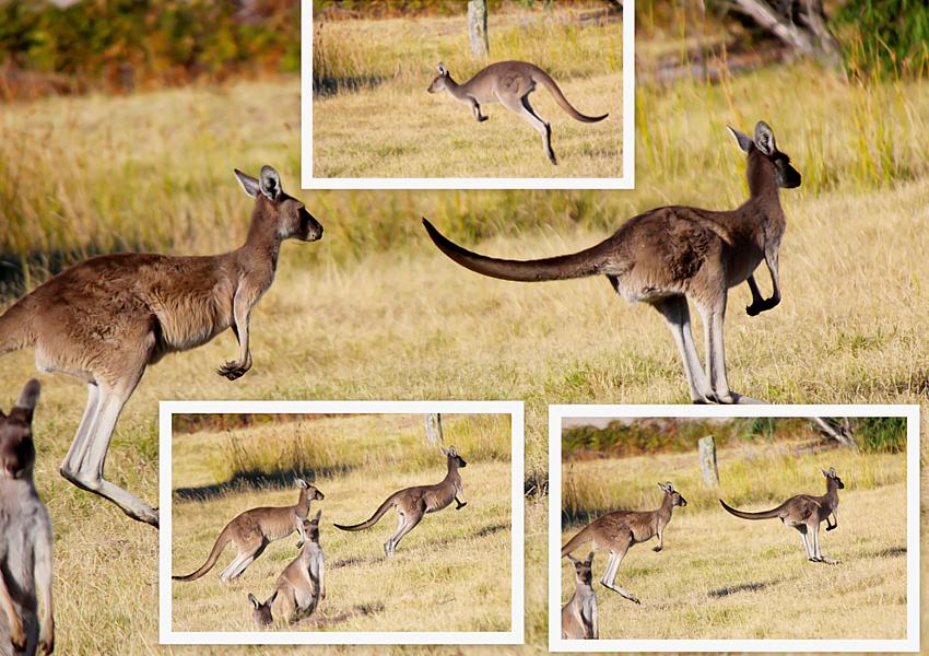 Virtual-kangaroo-hordes-feature-image-Shutterstock