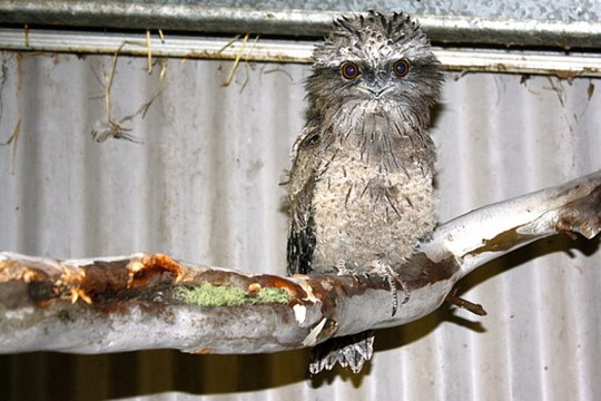 Tawny Frogmouth rescue Wildcare