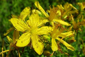 St John's Wort close-up