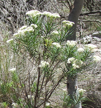 Cauliflower Bush or Cassinia species