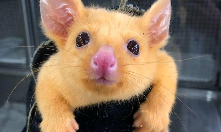 Golden--brushtail-possum