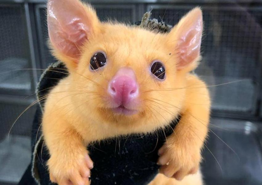Golden--brushtail-possum