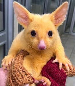 golden-brushtail-possum-inset