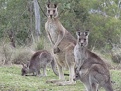 kangaroo-family-Dec2018