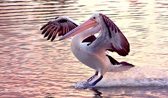 pelican-murray-river