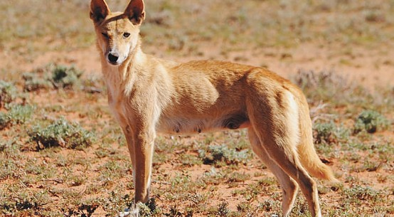 protect-the-dingo-Qld-Outback