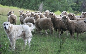 Maremma-protector-of-sheep-Andy-Fitzsimon