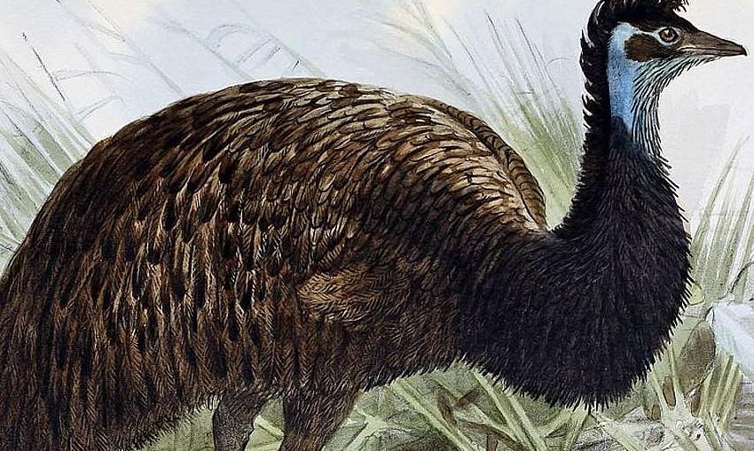 Emu by John Gerrard Keulemans