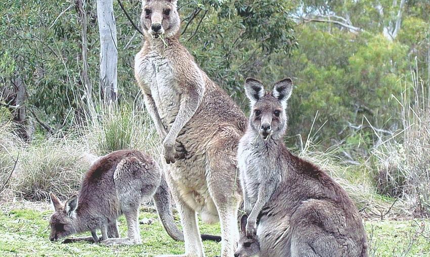 Kangaroo family by Maria Taylor