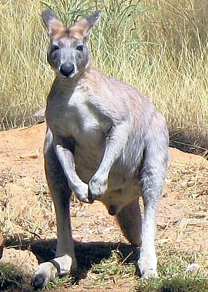 Antilopine Walleroo-Greg Schechter-Flickr CC BY 2zero