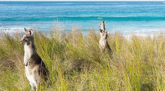 kangaroos Batemans Bay