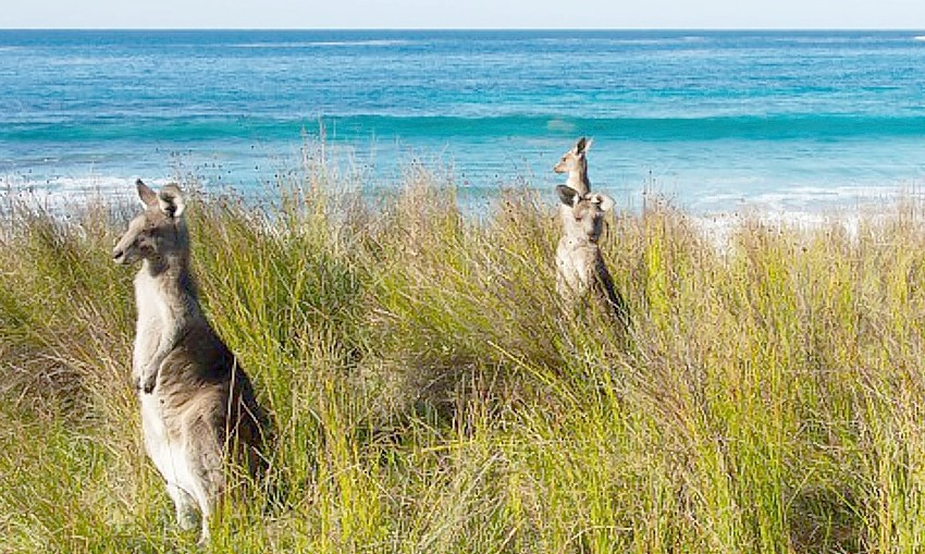 kangaroos Batemans Bay