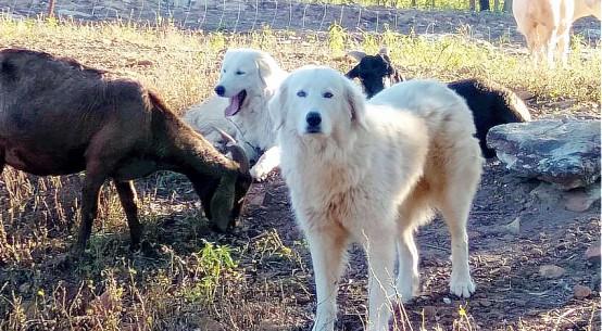 maremma-sheepdogs-supplied-MaryanneDalglish