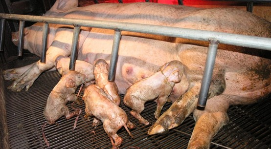 pig-farrow-crate-supplied-animal-activists