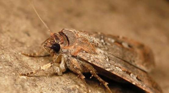 bogong-moth-AjayNarendra_ABC