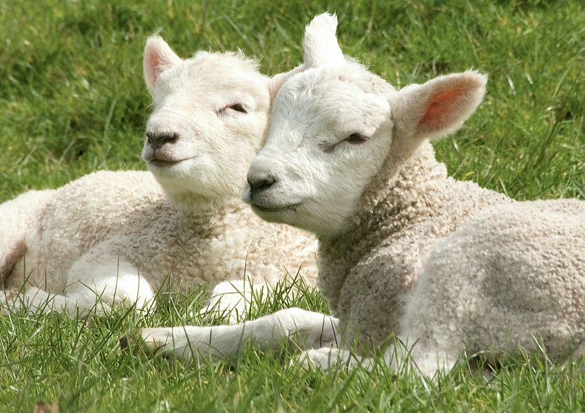 lambs-GrahamPRENTICE-sept2019