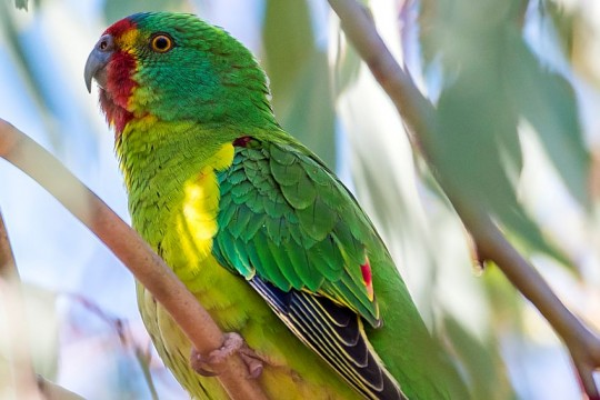 swift-parrot-canberra-By Gunjan Pandey-CC BY-SA 4pt0