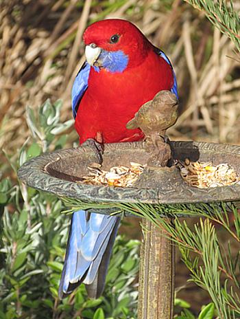 Rosella-feeding-crMariaTaylor2011