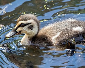 australian-duck-copyright-Peter-Hylands