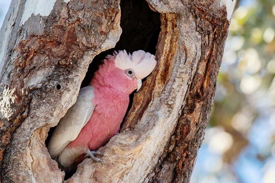 galah-copyright-Peter-Hylands